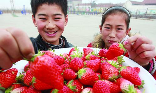 安家村老少樂享新春草莓季