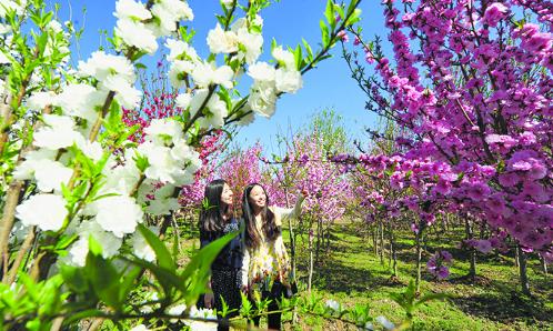 濱州經濟技術開發區:賞櫻花海棠 醉玫瑰飄香