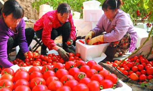 """走进西红柿之乡:红果绿叶间享个春天的""""桑拿"""""""