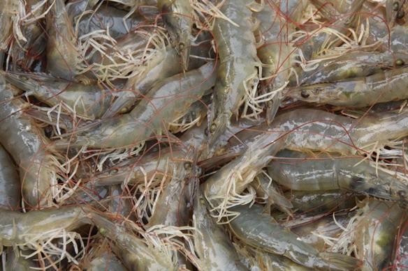 """身长肉美壳薄体肥……擦擦口水吧!山东产量第一的""""ballbet贝博网站对虾""""涨""""身份""""了"""