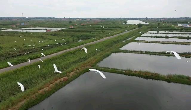 黄河湿地白鹭飞
