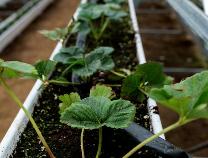 邹平绿蔬源合作社草莓苗住暖棚 鲜草莓一个月后上市