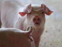 猪肉没了儿时的味道,问题在这儿……
