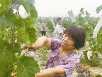 无棣棣丰:绿色葡萄丰收在望