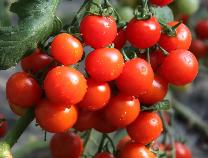 公示!店子西红柿入选全国名特优新农产品名录