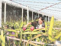 沾化区利国乡:红心火龙果种出火红生活