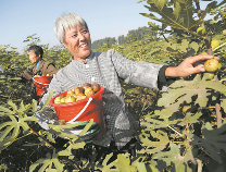 博兴乔庄百亩无花果成熟:特色种植 脱贫致富