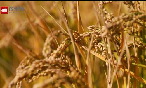 【创建国家森林城市】金黄稻穗随风起伏  沉沙池畔丰收景象美如画