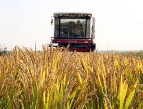 台子镇:沉沙池的盐碱地,水稻丰收了!