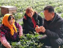 陽信農業技術達人送草莓種植技術進大棚