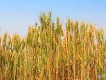 截至10月12日全市收获秋粮200.63万亩,占比40.52%