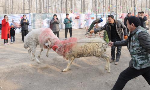斗鸡斗羊骑马看羊驼,西纸坊疯狂马戏团乐疯了滨州游客