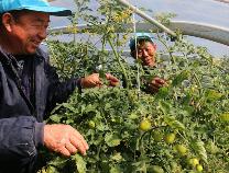 蔬菜种植带动贫困户脱贫