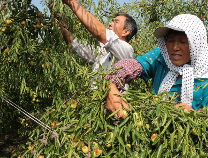 20多年铸就优秀品质 无棣关庄子村小冬枣长成大产业
