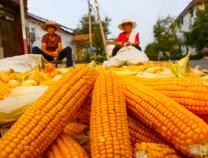 鄒平市韓店鎮4萬余畝玉米飄香秋收忙