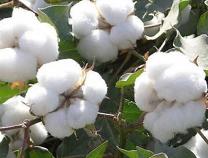10月上旬重要生产资料37种涨10种降 棉花涨16.6%