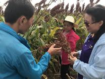 滨州高粱长势怎么样?省现代农业技术体系杂粮产业创新团队来滨交流