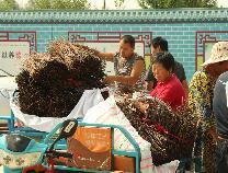 邹平市码头镇前安村金蝉养殖开始栽种卵枝!