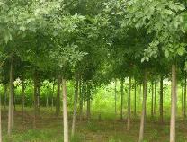 """中喜生态""""喜槐""""""""喜柳""""等三个新品树种通过国家林业局审查"""