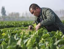 """暖心!滨州网报道""""胡集蔬菜滞销"""", 魏桥创业和石榴置业立即援手相助"""