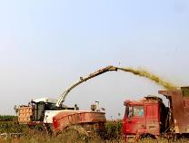 无棣渤海粮仓秋收忙 5500亩玉米全棵回收