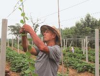 滨州人吃上邹平产猕猴桃为时不远 大李村打造猕猴桃种植专业村