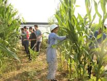 摘下自己的劳动果实!滨州实验学校七年级八班开展暑期收玉米实践活动