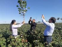 黄河流域棉花生产全程机械化无棣示范点比常规种植增产3到4成