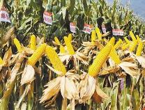 昔日盐碱地,如今高产田 无棣县玉米新品种亩产量创纪录达715公斤