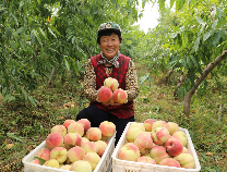 码头镇沿黄大坝百余亩蜜桃熟了!