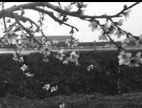惠平易近姜楼镇张杨村:桃花朵朵开  果农有望好收获